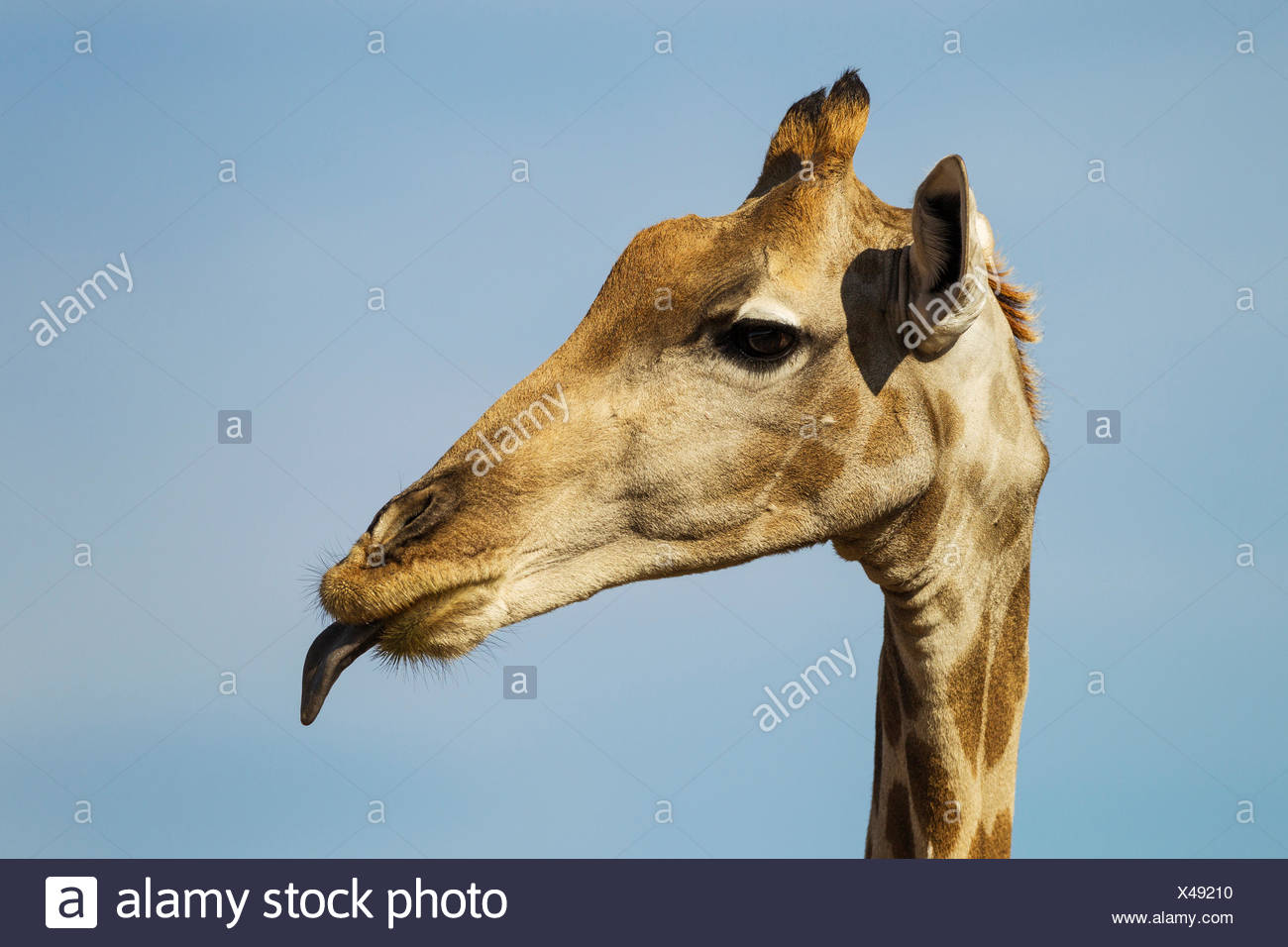 Southern Giraffe (Giraffa giraffa) female sticking out its tongue - Stock Image