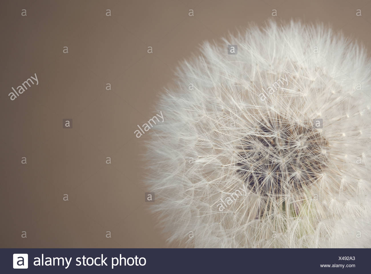 Close-up of a dandelion against a neutral background - Stock Image
