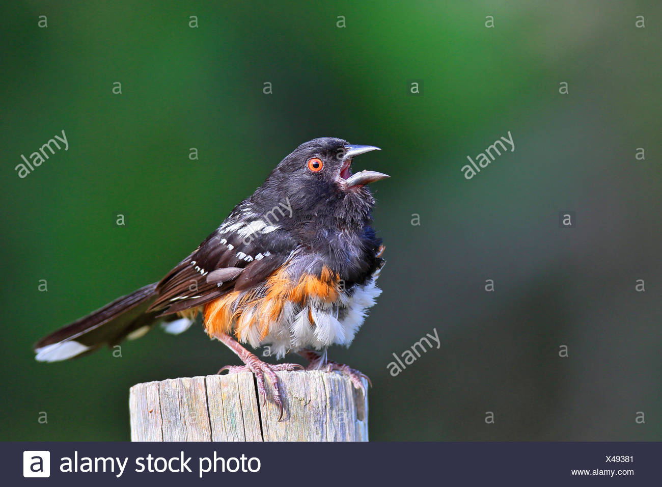 Spotted towhee (Pipilo maculatus), male sitting on a post and singing, Canada, Vancouver Island - Stock Image