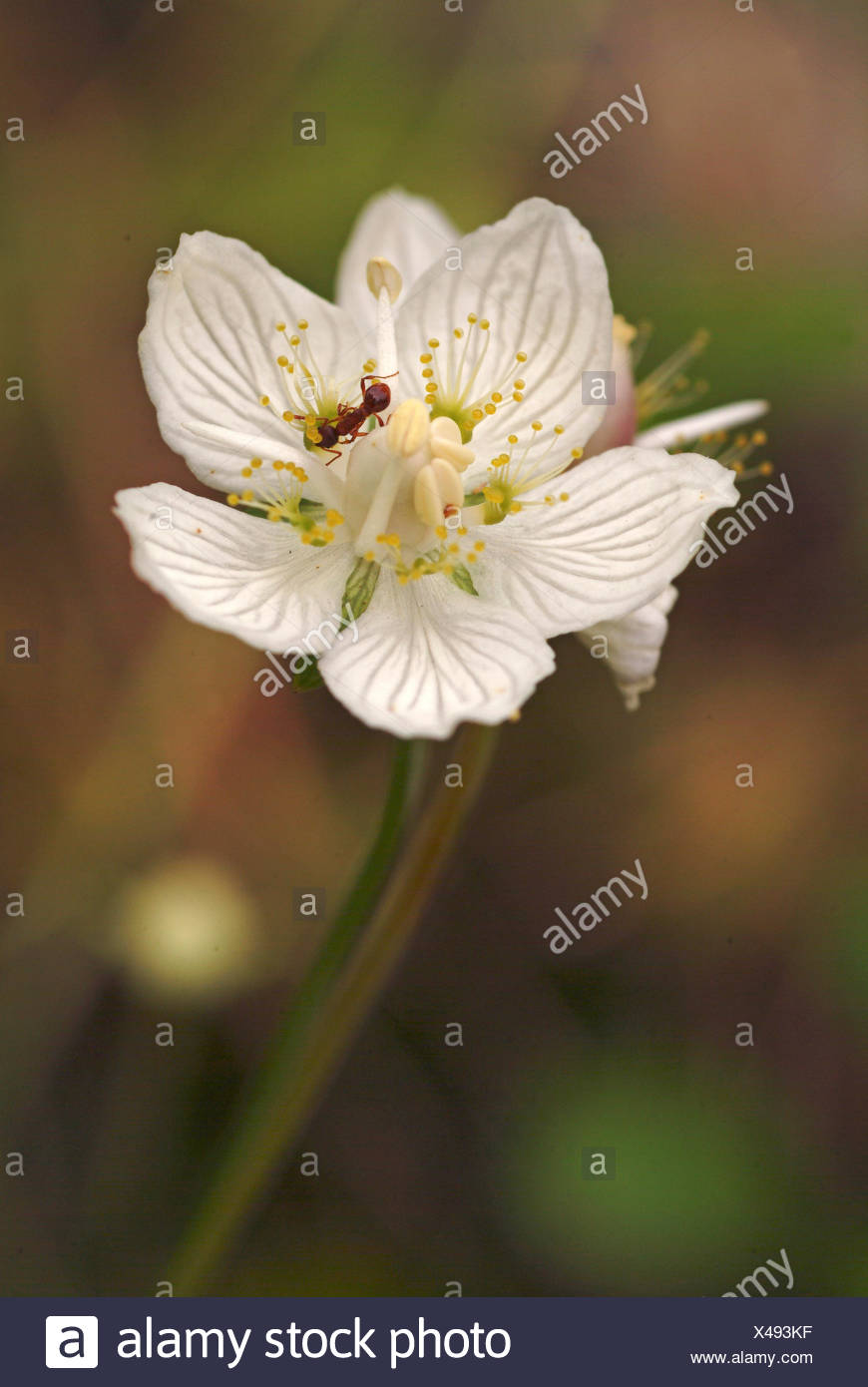 marsh grass-of-parnassus (Parnassia palustris), flower with ant, Germany - Stock Image