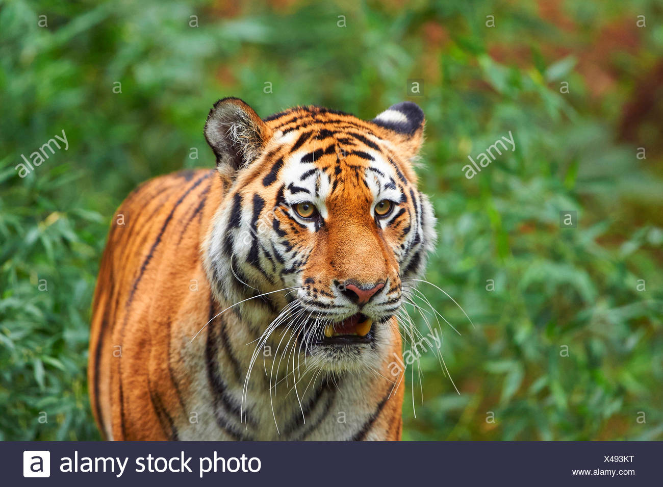 Siberian tiger, Amurian tiger (Panthera tigris altaica), portrait Stock Photo
