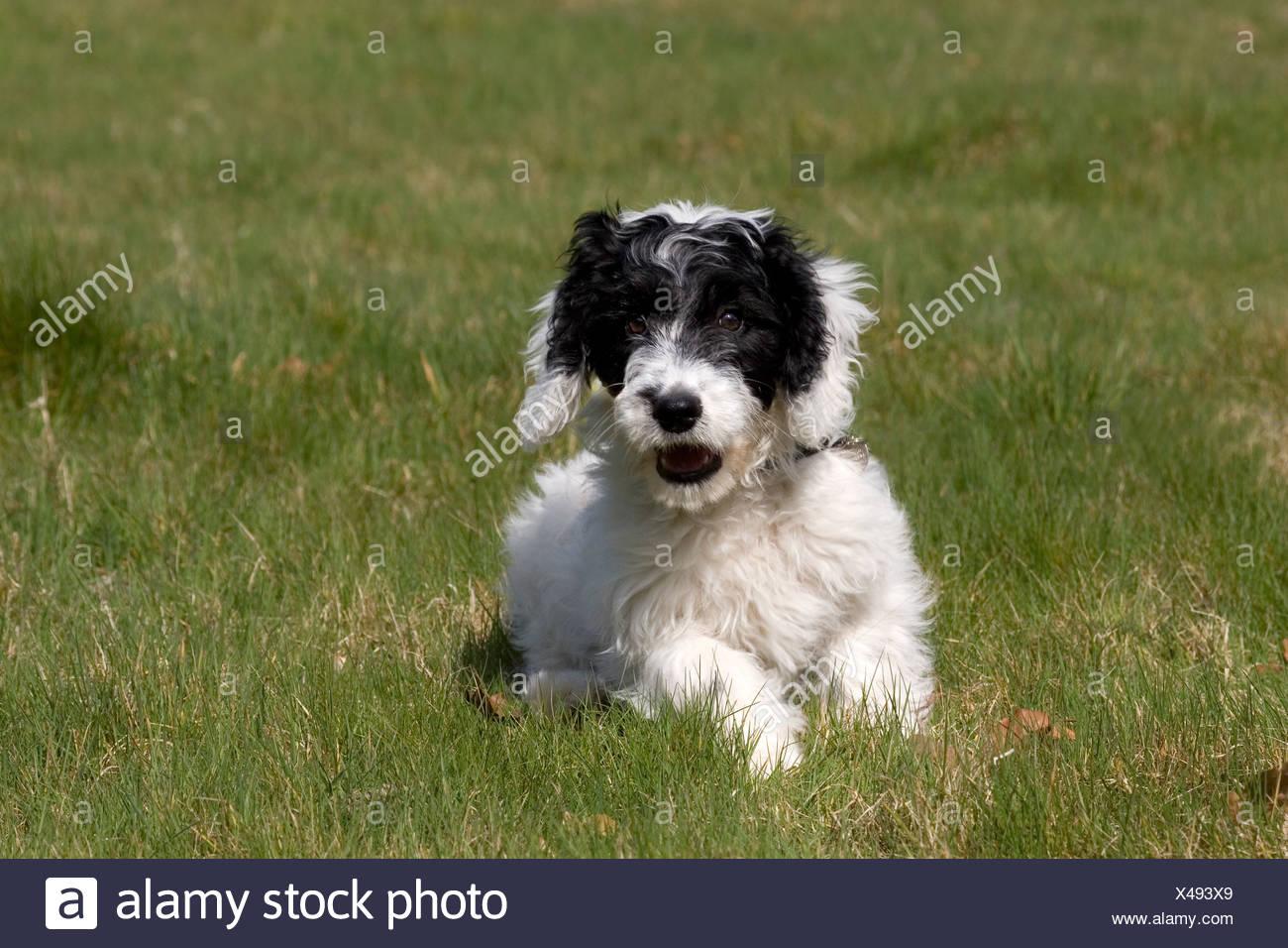 portrait cockerpoo puppy sitting in field Stock Photo