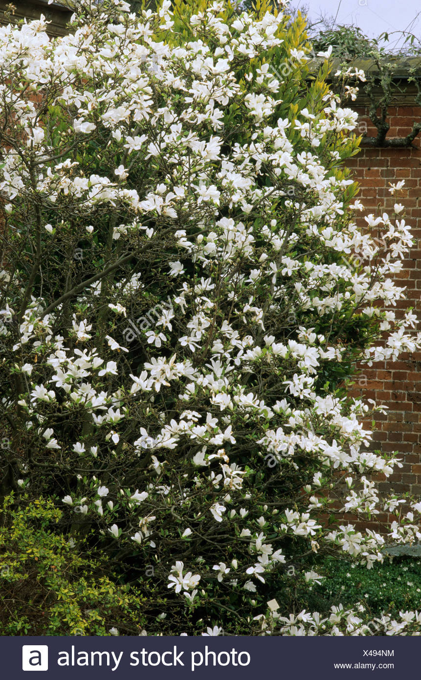 Magnolia X Loebneri Merrill Tree White Fragrant Flowers Garden