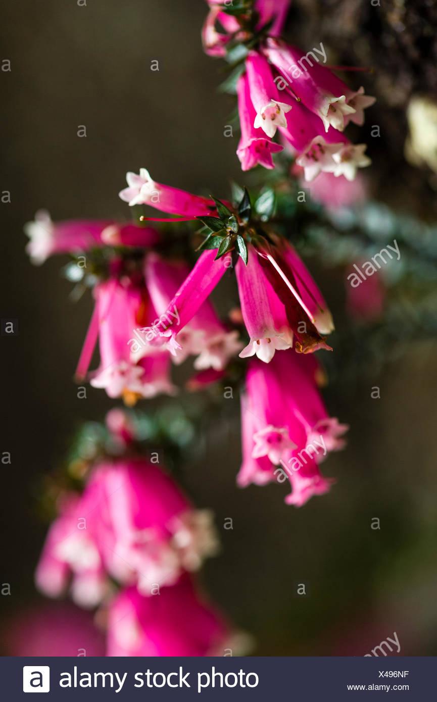 Heather Flower Pink Pink Stock Photos Heather Flower Pink Pink