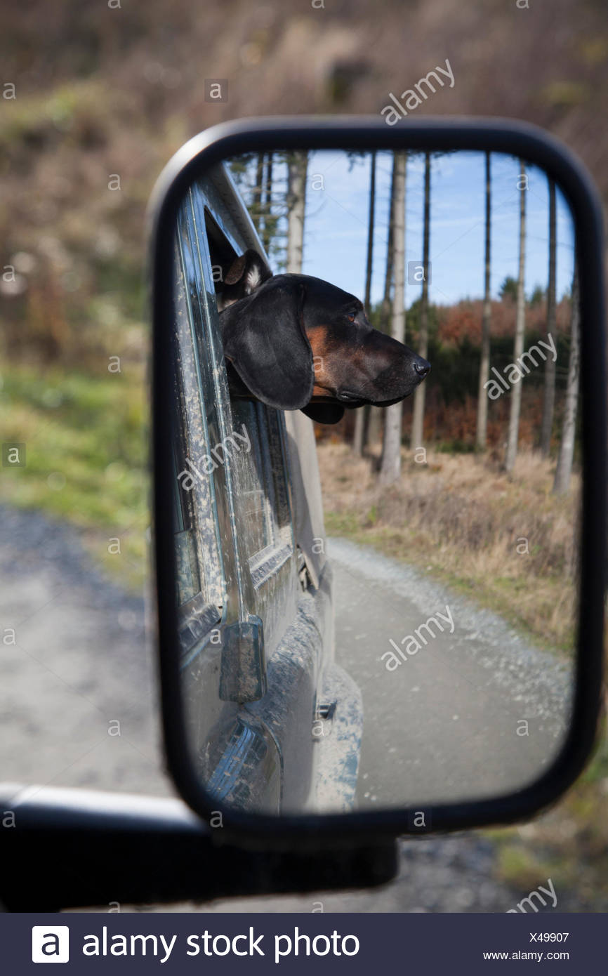 Dog head of a Polish Hound looking out of the window - Stock Image