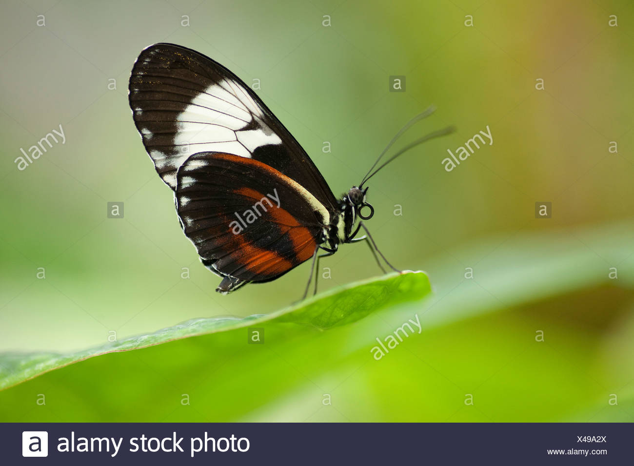 Cydno Longwing Butterfly (Heliconius cydno) sitting on a leaf, captive, native to Central America and South America - Stock Image