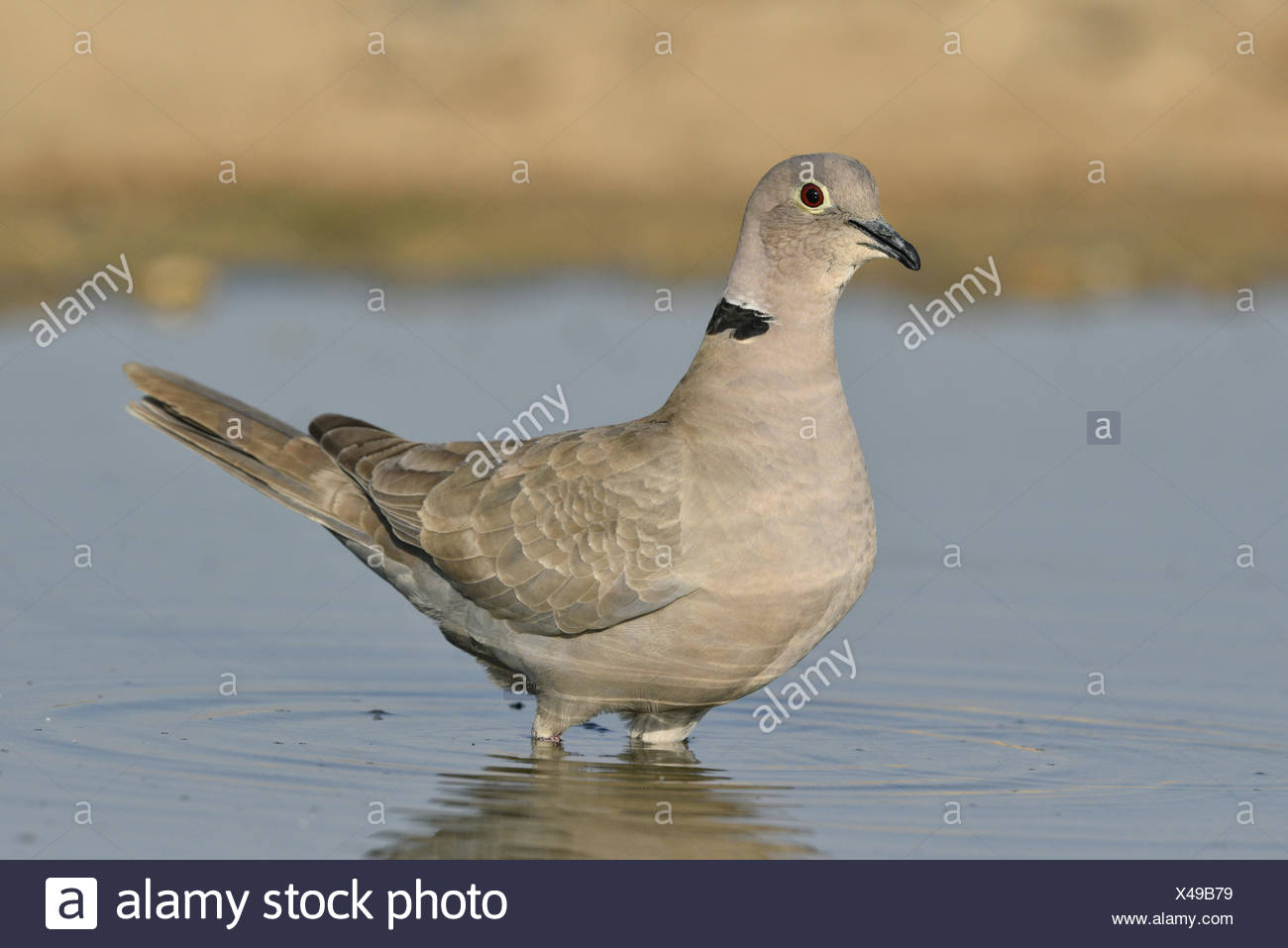 Collared Dove - Streptopelia decaocto - Stock Image