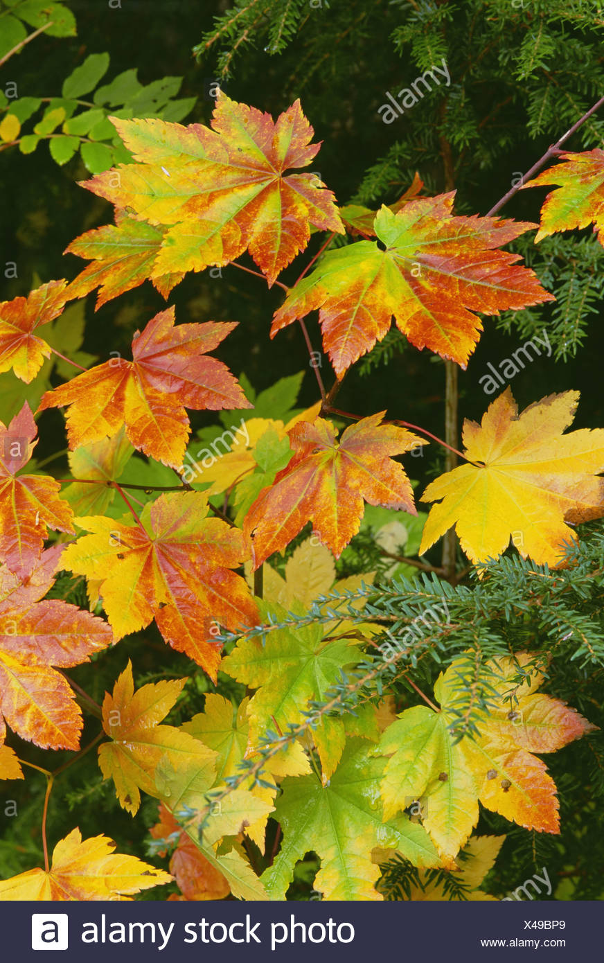 Autumn vine maple leaves, turning from green through gold to red in the autumn. Stock Photo