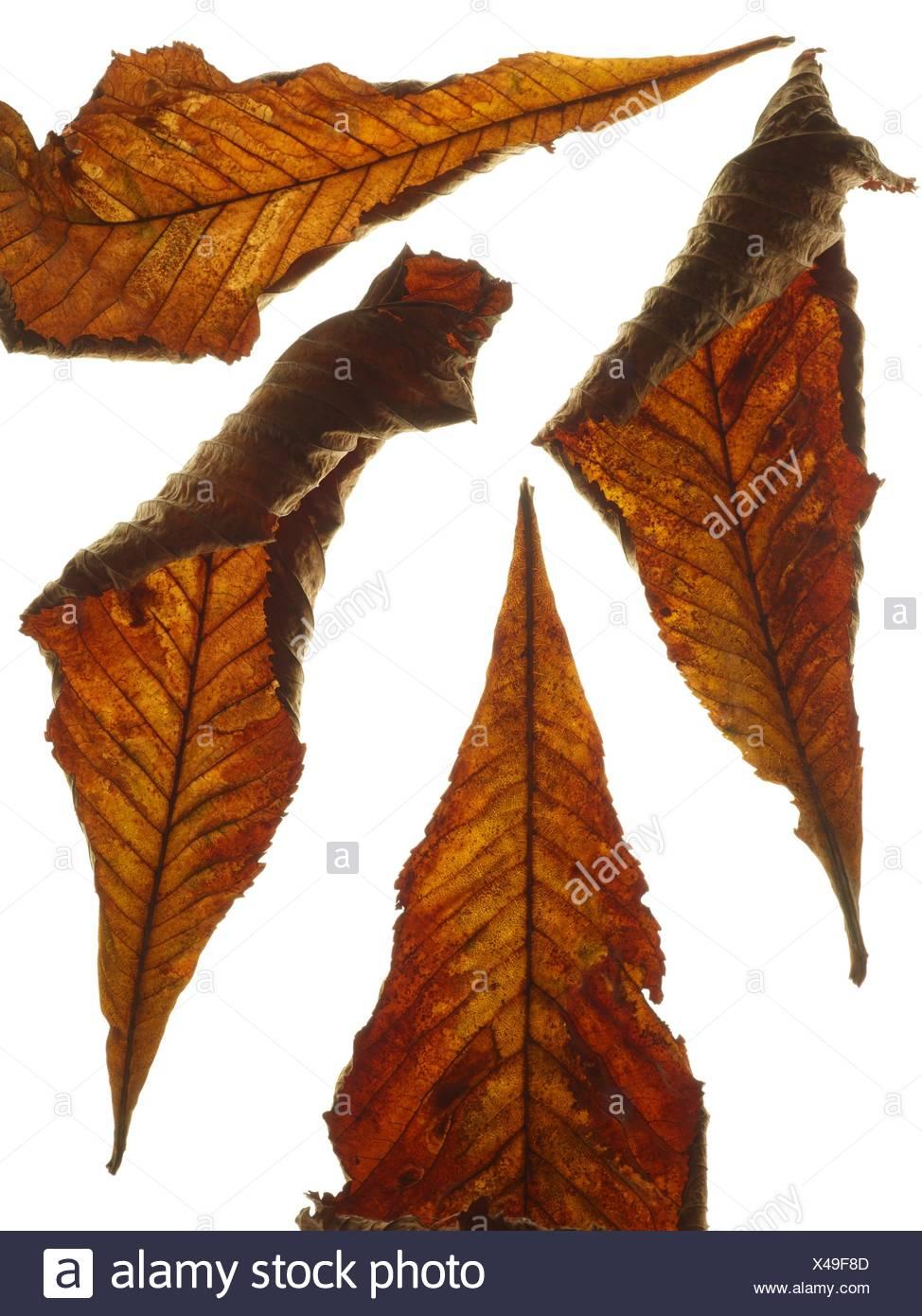 Horse chestnut (Aesculus hippocastanum) leaves, studio shot. - Stock Image