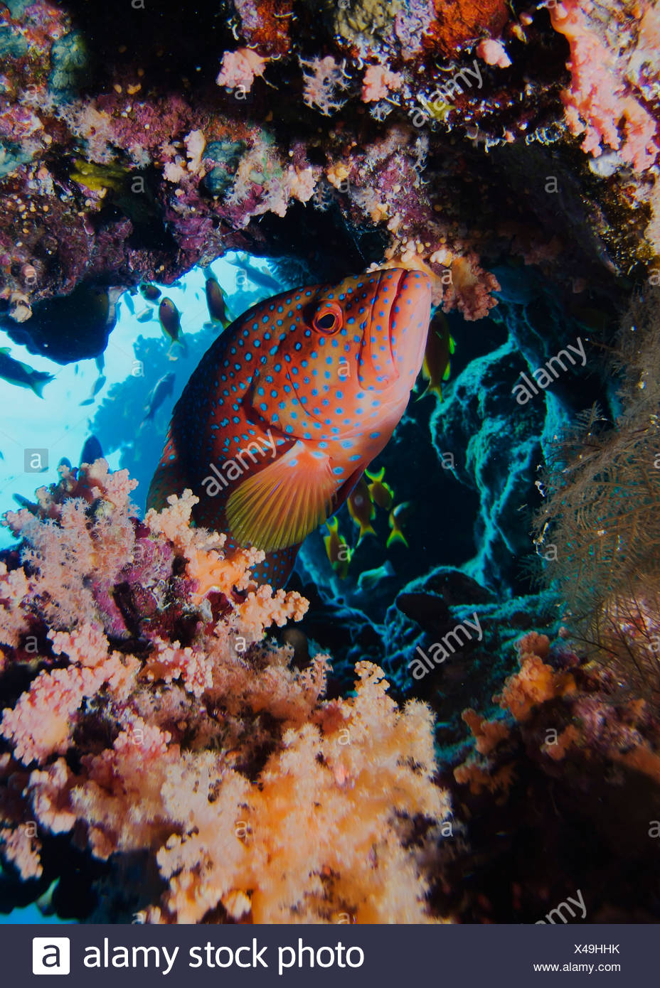 Coral hind or grouper (Cephalopholis miniata). Jackson Reef, Sharm El Sheikh, South Sinai, Red Sea, Egypt. - Stock Image