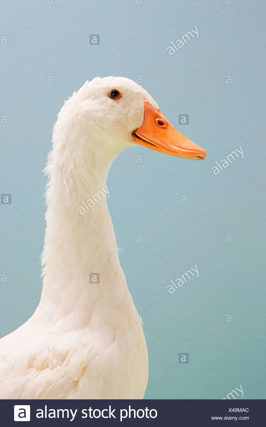 Close up duck, studio shot - Stock Image