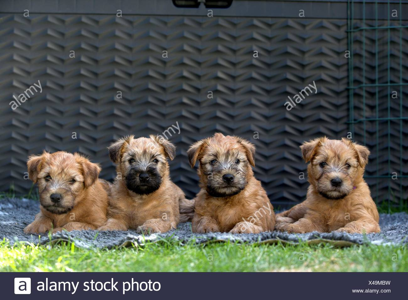 Wheaten Terrier Puppy High Resolution Stock Photography And Images Alamy