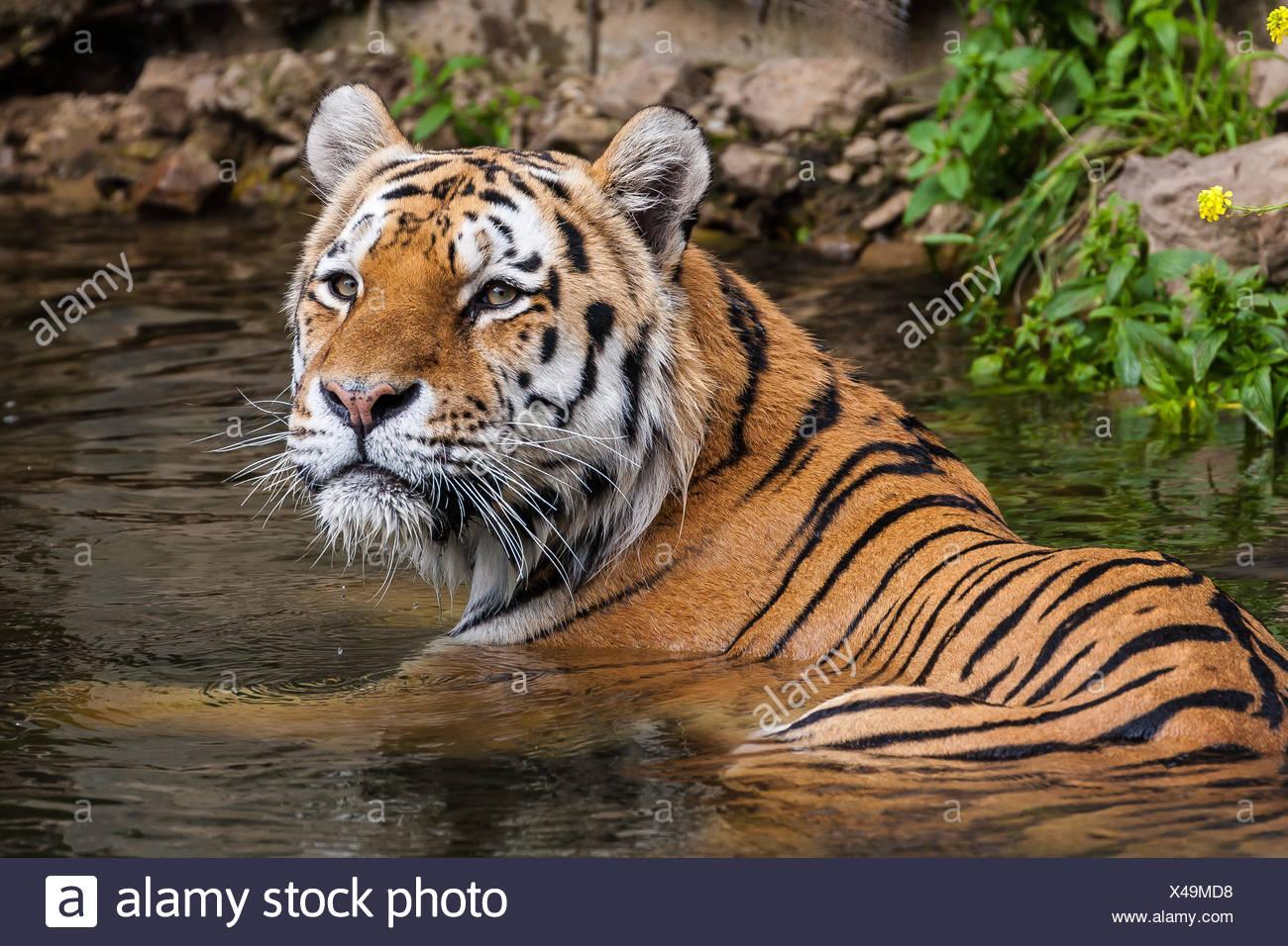 animal, mammal, big cat, feline predator, cat, tiger, hunt, felinely, nature, Stock Photo