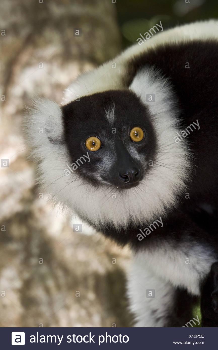 Black white ruffed Lemur Palmarium Madagascar - Stock Image
