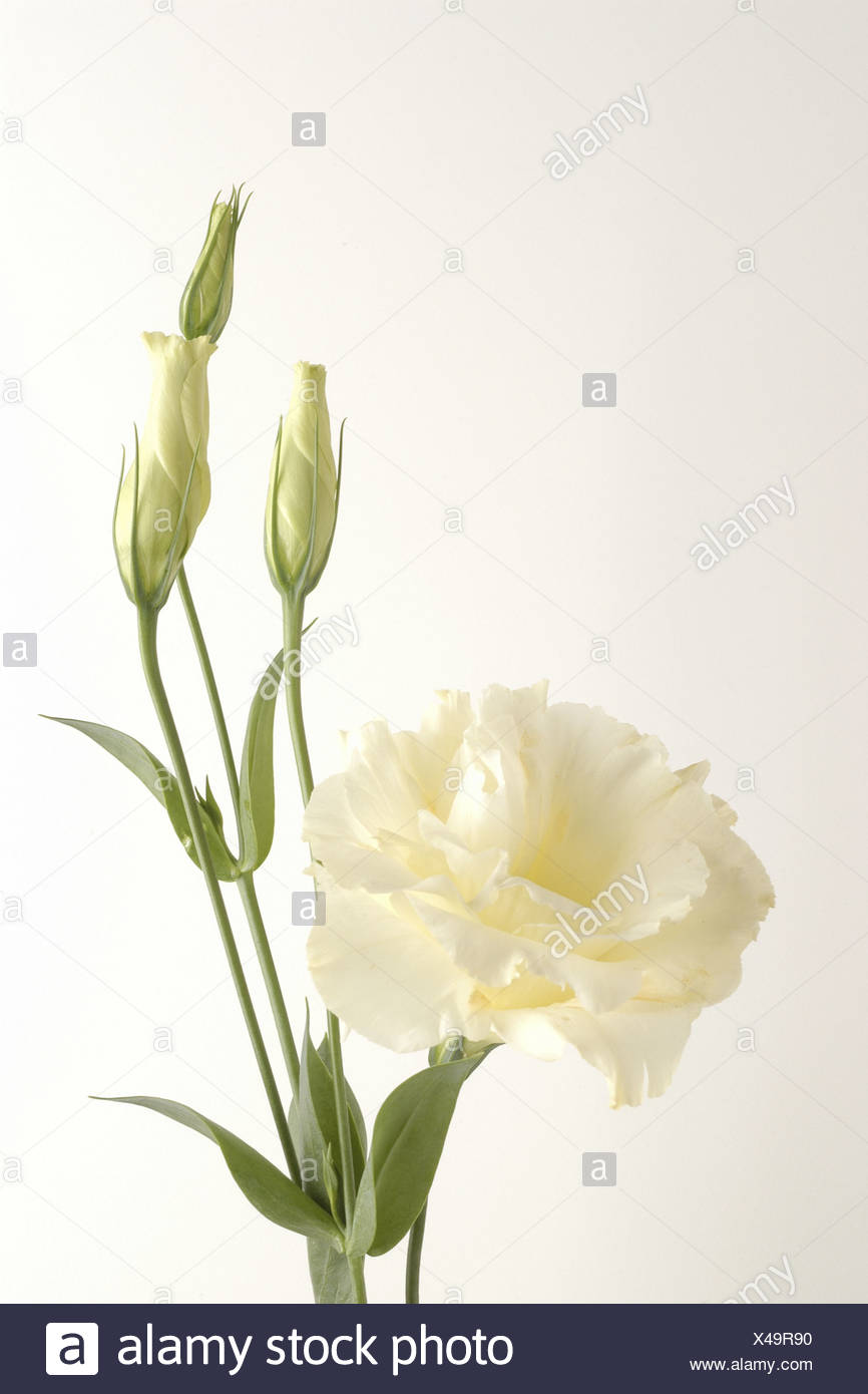 Lisianthus, Tulip Gentian, Texas Bluebell (Eustoma grandiflorum), with white blossoms and buds, Germany - Stock Image