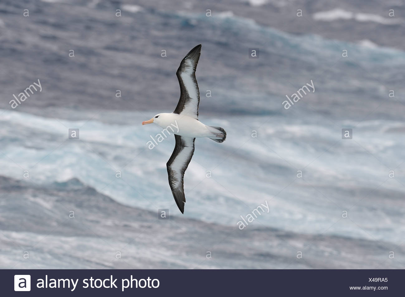 Antarctica, Drake Passage, Black-browed albatross flying over water - Stock Image