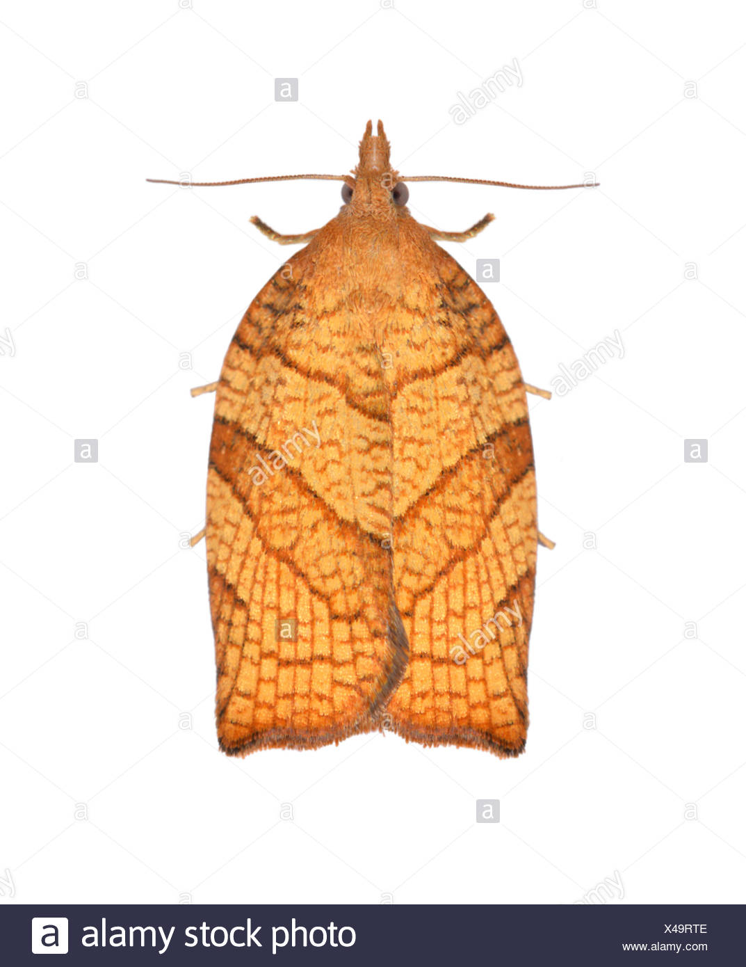 49.024 (0969) Chequered Fruit-tree Tortrix - Pandemis corylana - Stock Image