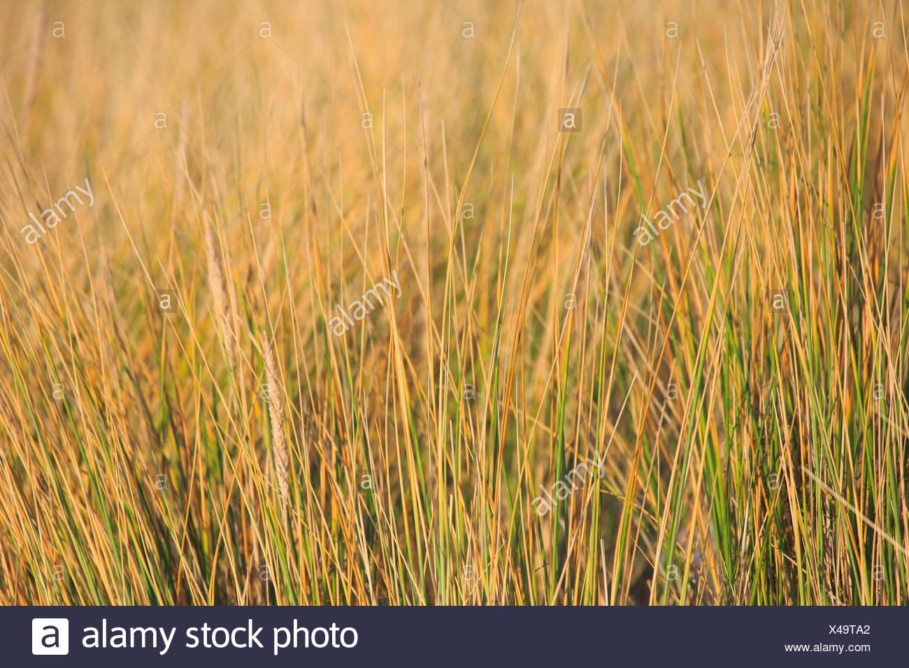 Germany, Europe, dune, dune grass, blade of grass, Helgoland, coastal vegetation, macro, sea, seashore, pattern, nature, North Se - Stock Image