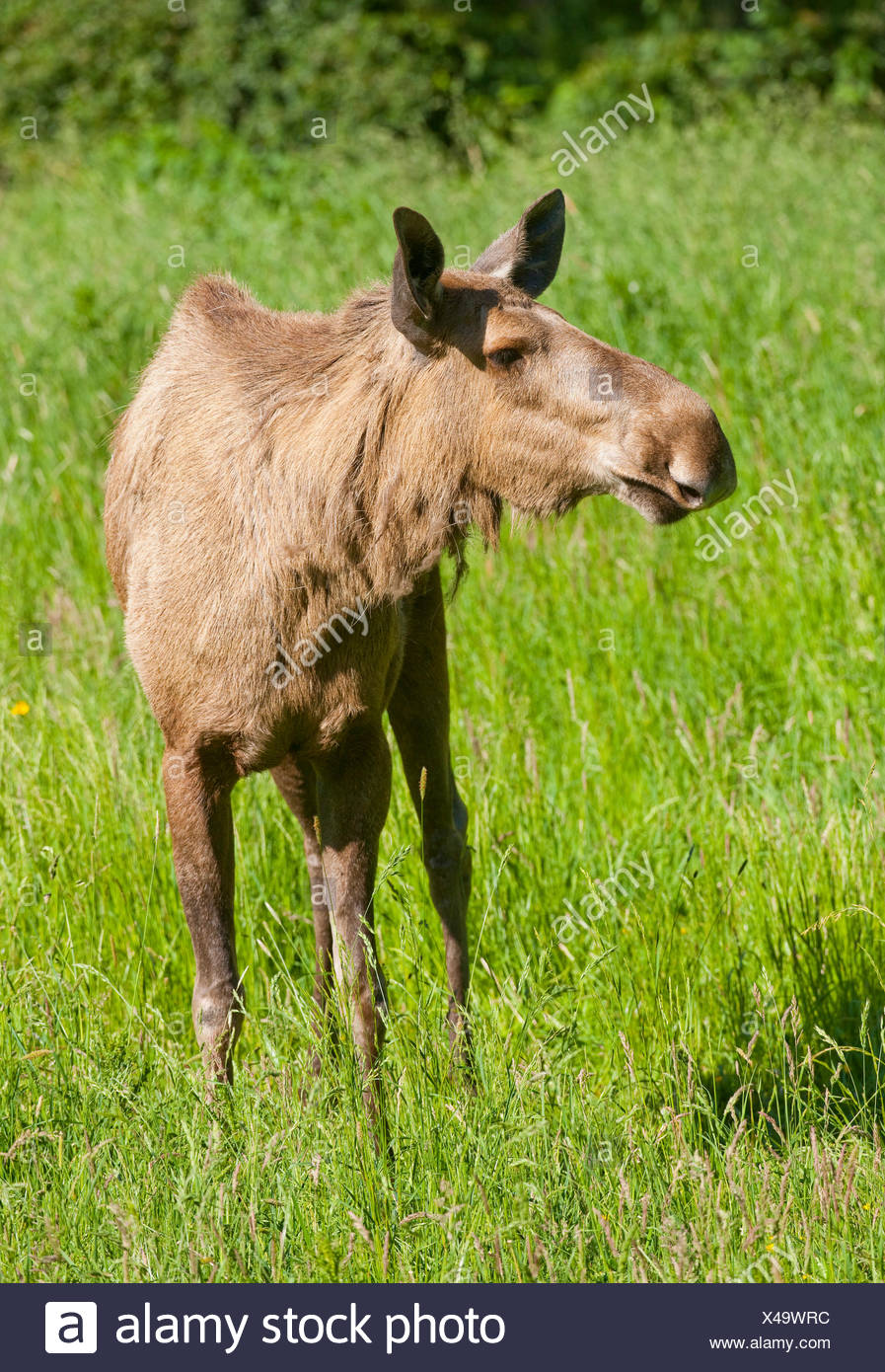 Eurasian elk - photo#43