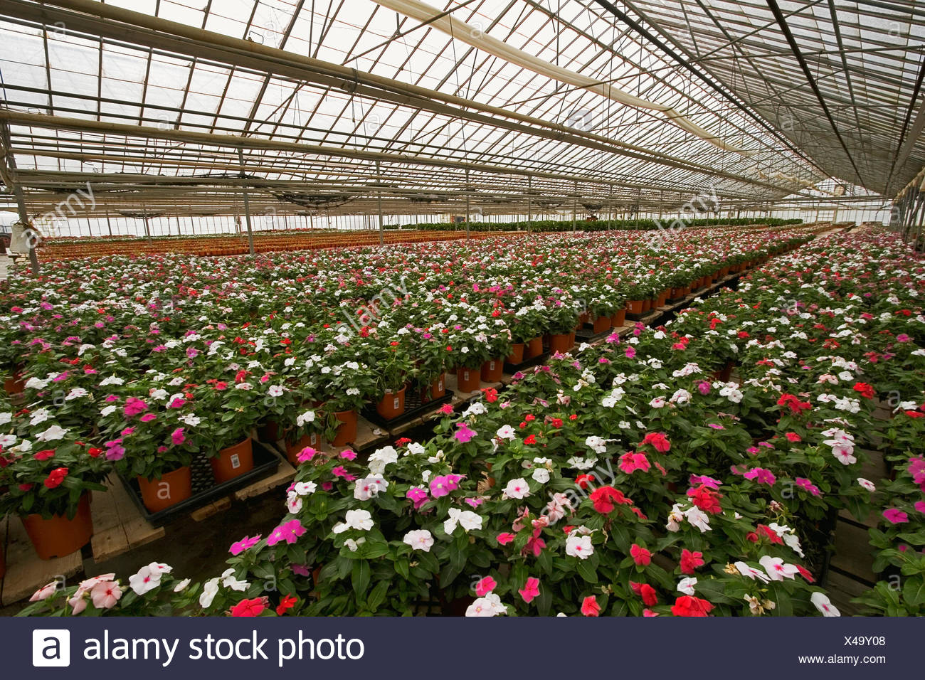 Agriculture - Vinca plants in bloom stage growing in a flower ...