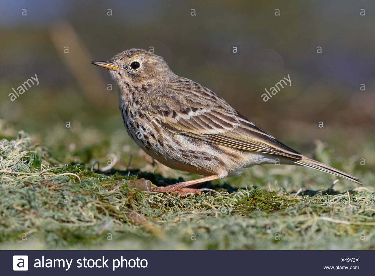 Meadow pipit (Anthus pratensis), standing on ground, Campania, Italy Stock Photo
