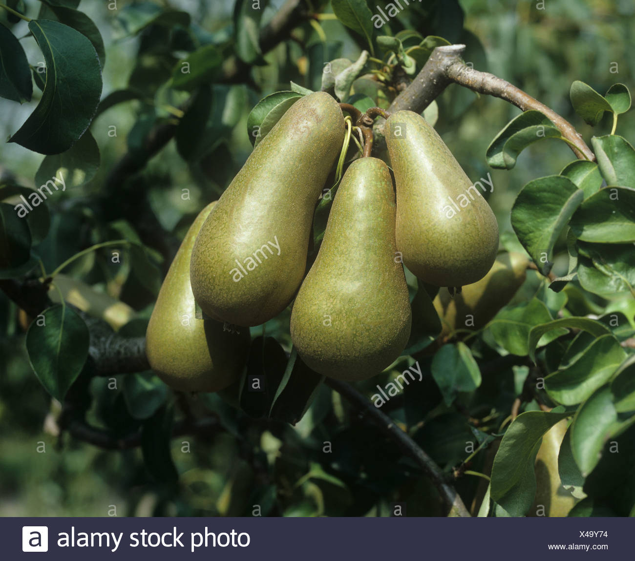 Conference pear fruit on the tree Oxfordshire - Stock Image