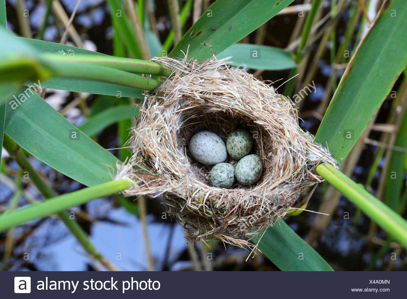 Eurasian cuckoo (Cuculus canorus), eggs in the nest, cuckoo put his slightly larger egg in the nest to the eggs of a reed warbler, Germany - Stock Image