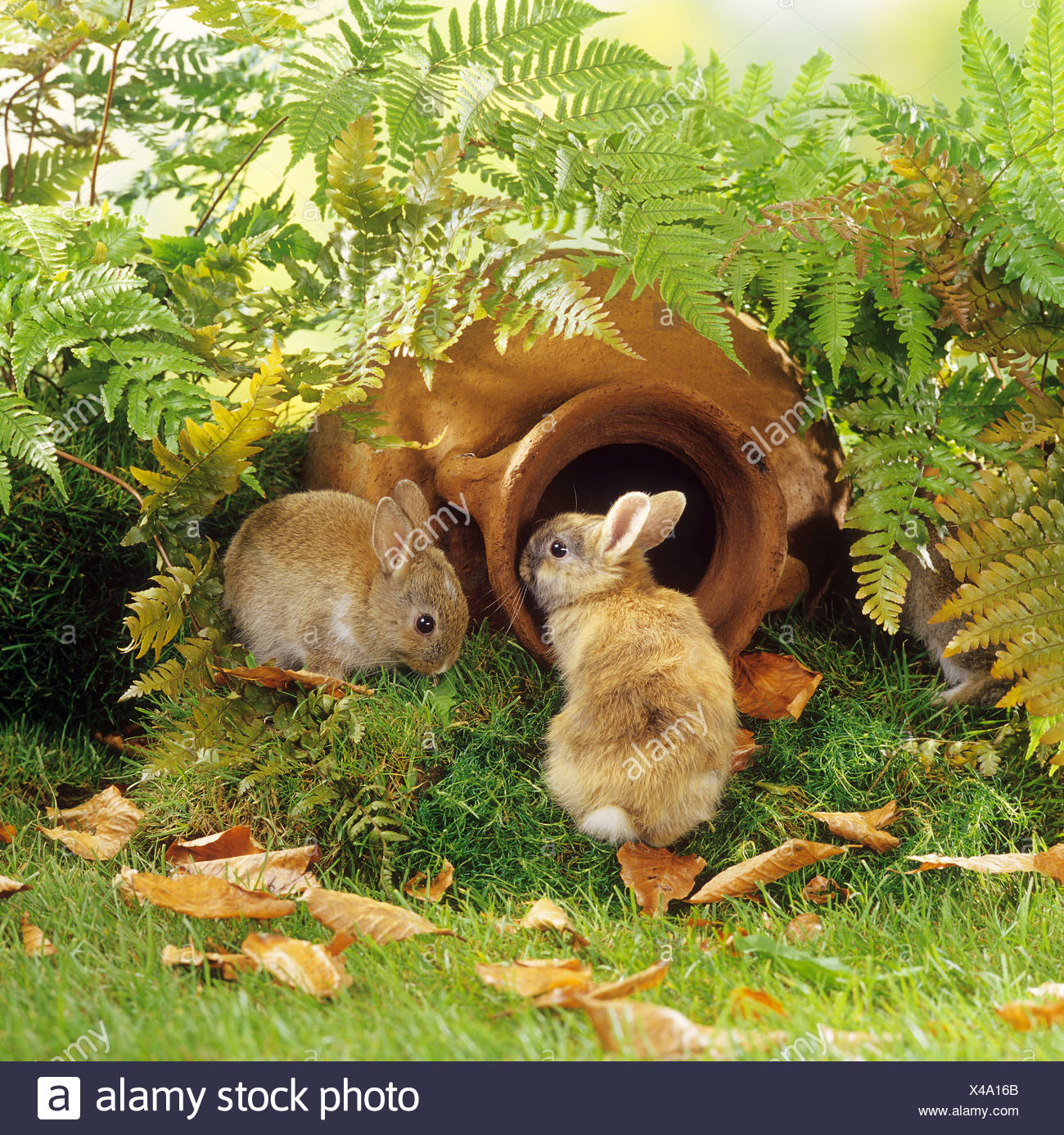 two young pygmy rabbits - in garden with amphora - Stock Image