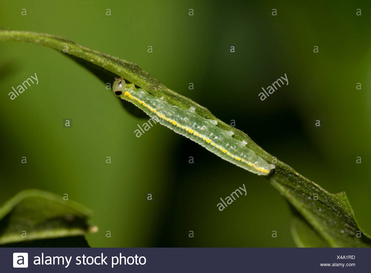 brush-footed butterfly, glasswing (Greta oto), caterpillar at a leaf - Stock Image