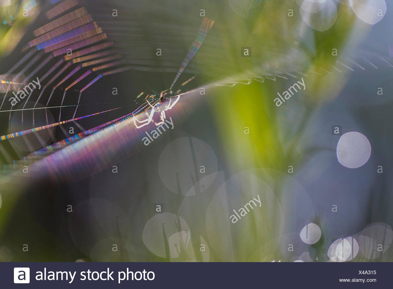 spider web with spider in backlight, Germany, Baden-Wuerttemberg - Stock Image