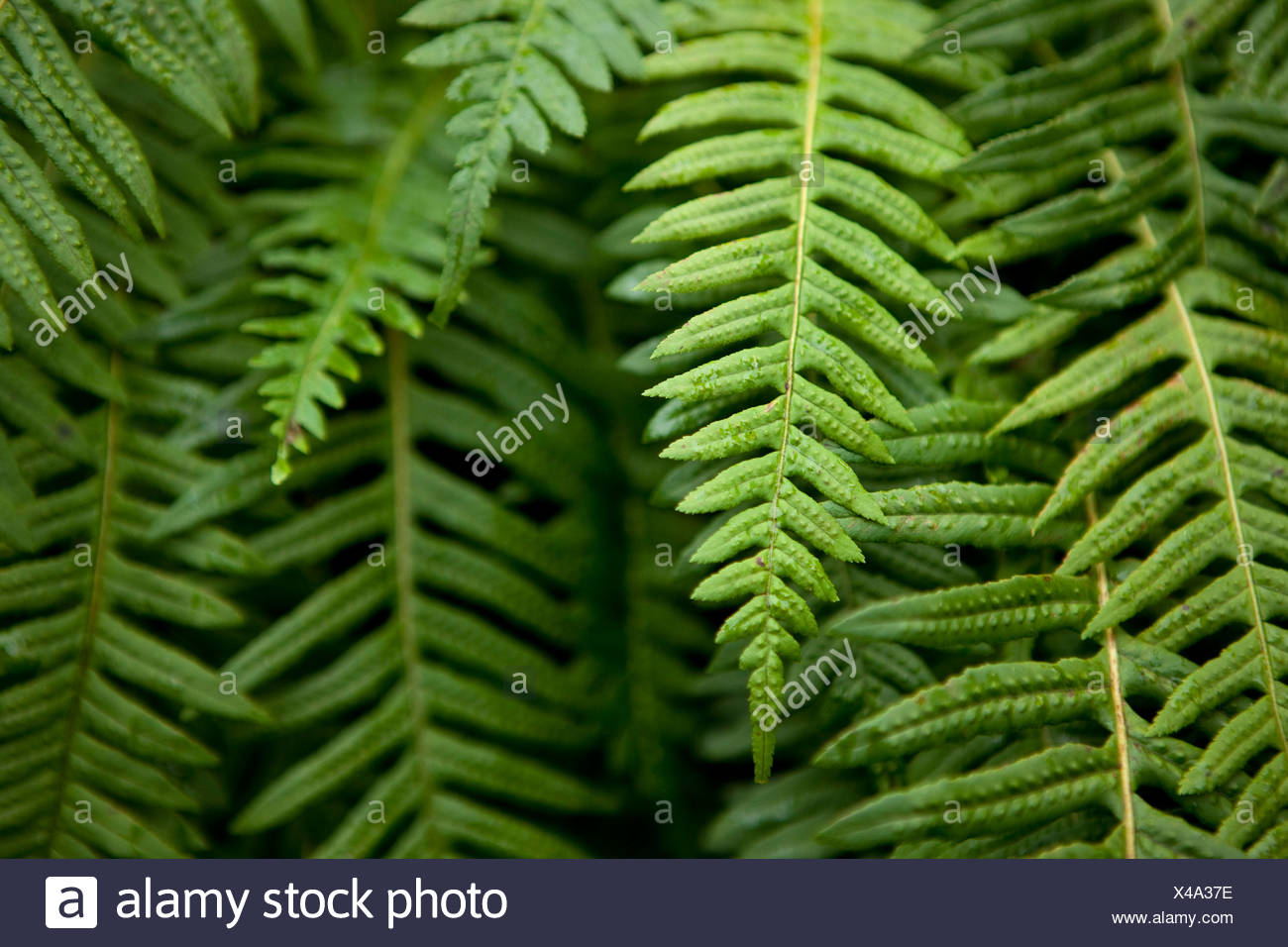 A group of green ferns. - Stock Image