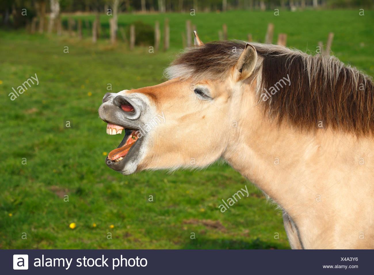Yawning horse, Norwegian fjord horse, Schleswig-Holstein, Germany - Stock Image