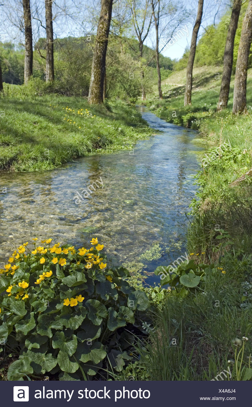 Scenery, brook, marsh marigolds, Caltha palustris, Germany, home Eder, home Hürn, trout brook, waters, stream course, water, clearly, purely, cleanly, chilly, trees, plants, flowers, wild plants, blossoms, yellow, blossom, buttercup family, marsh marigold Stock Photo