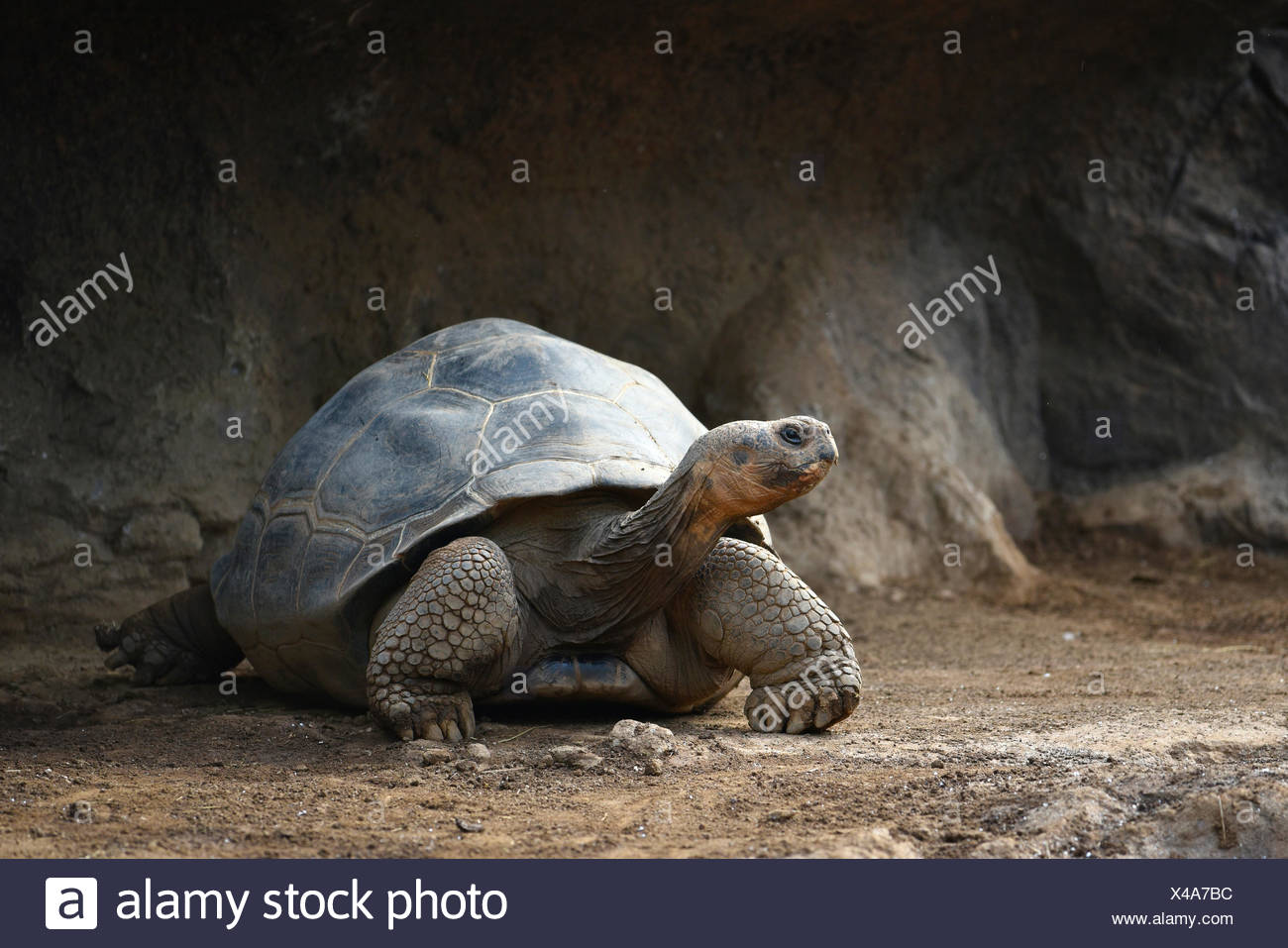 Galápagos giant tortoise (Chelonoidis nigra), Loro Parque, Puerto de la Cruz, Tenerife, Canary Islands, Spain - Stock Image