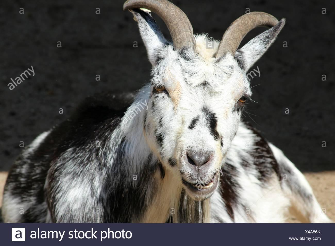 nanny-goat - Stock Image