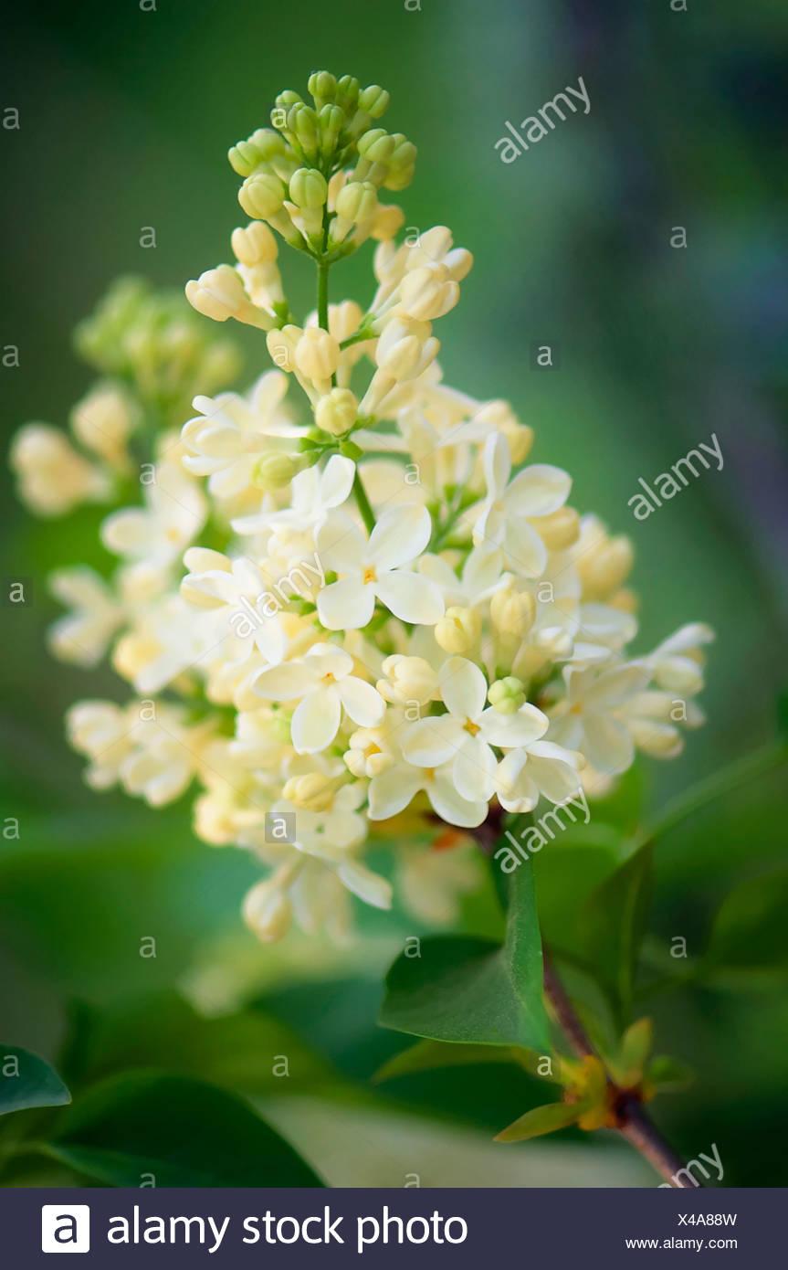 Syringa vulgaris 'Primrose', Lilac 'Primrose', Cream. - Stock Image