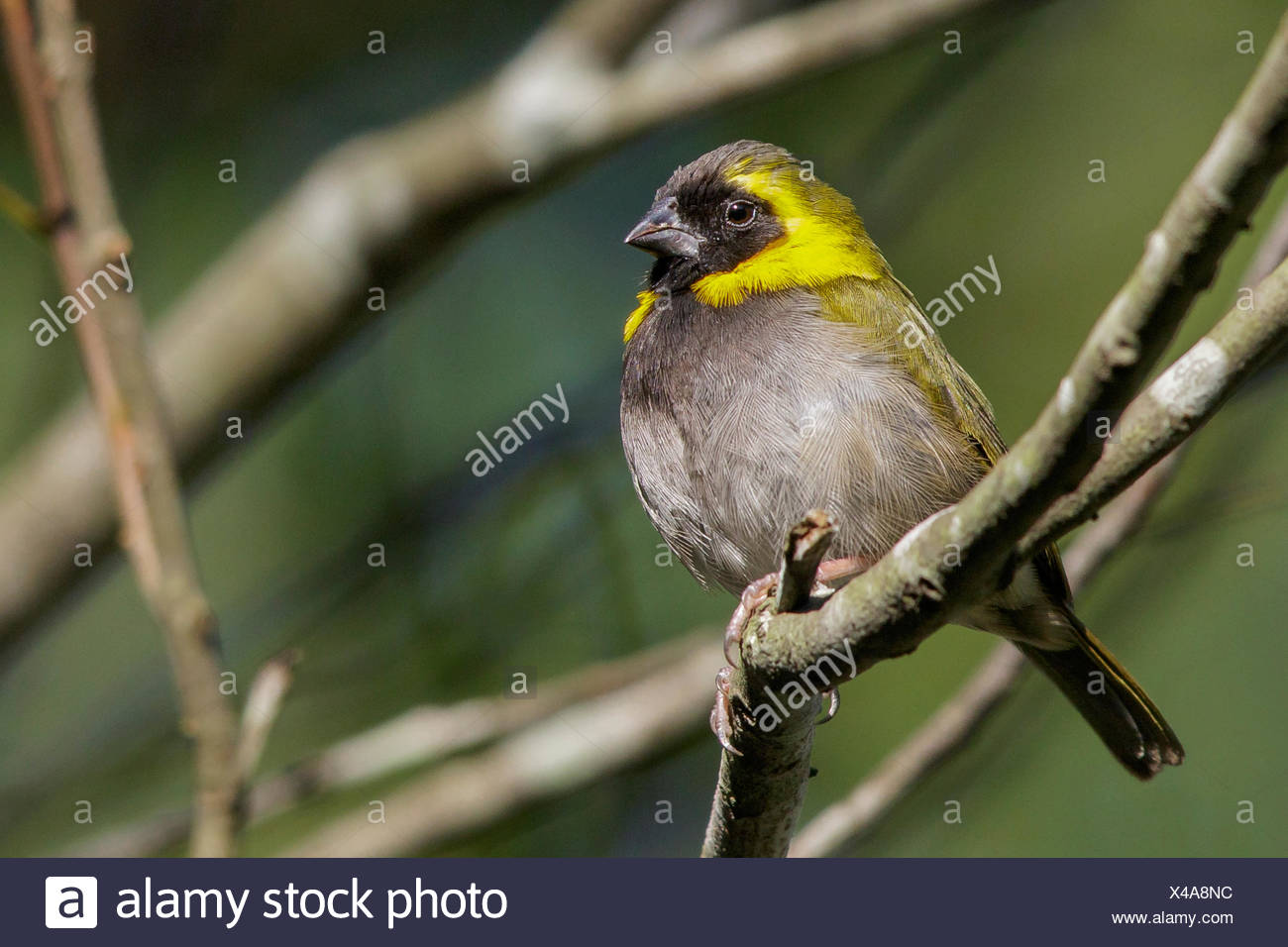 Cuban grassquit (Tiaris canorus) perched on a branch in Cuba. - Stock Image