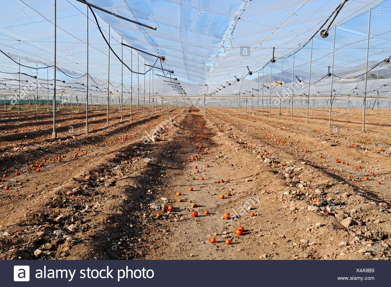 Tomato plantation after harvest, remains, single tomatoes, empty, harvested, earth, farming, agriculture, Costa Calida, Murcia, - Stock Image