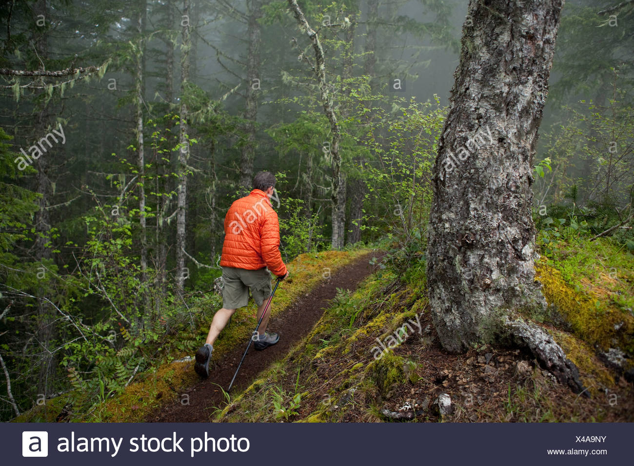A man in an orange jacket hikes trough a trail in the foggy and wet forest. - Stock Image