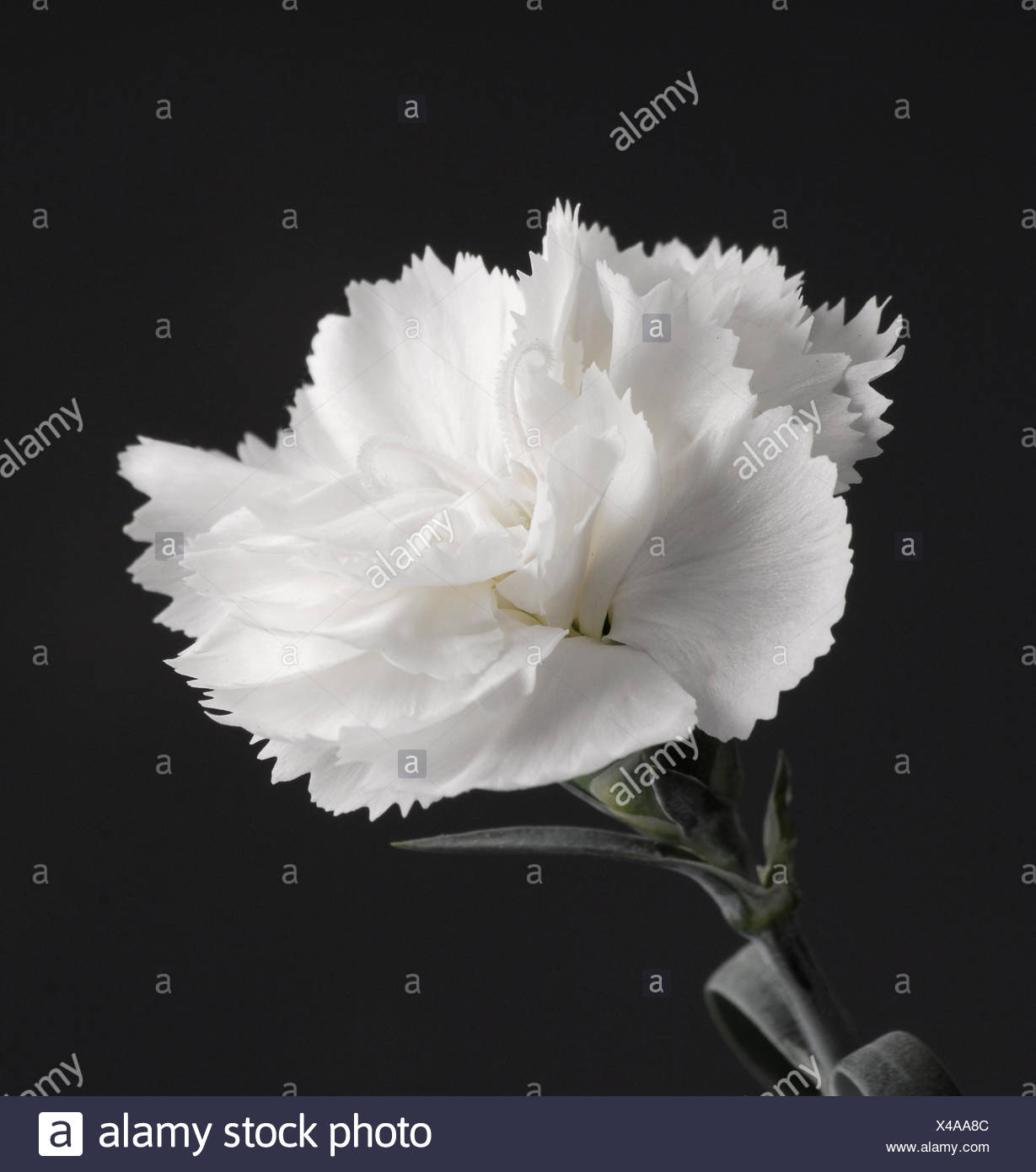White Carnation (Dianthus) - Stock Image