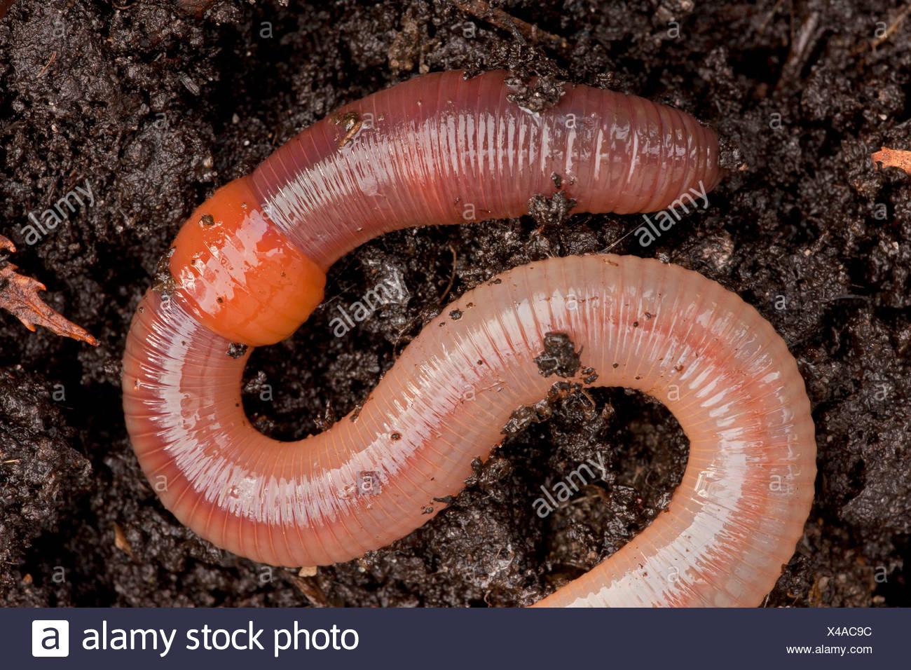 common earthworm earthworm lob worm dew worm squirreltail worm