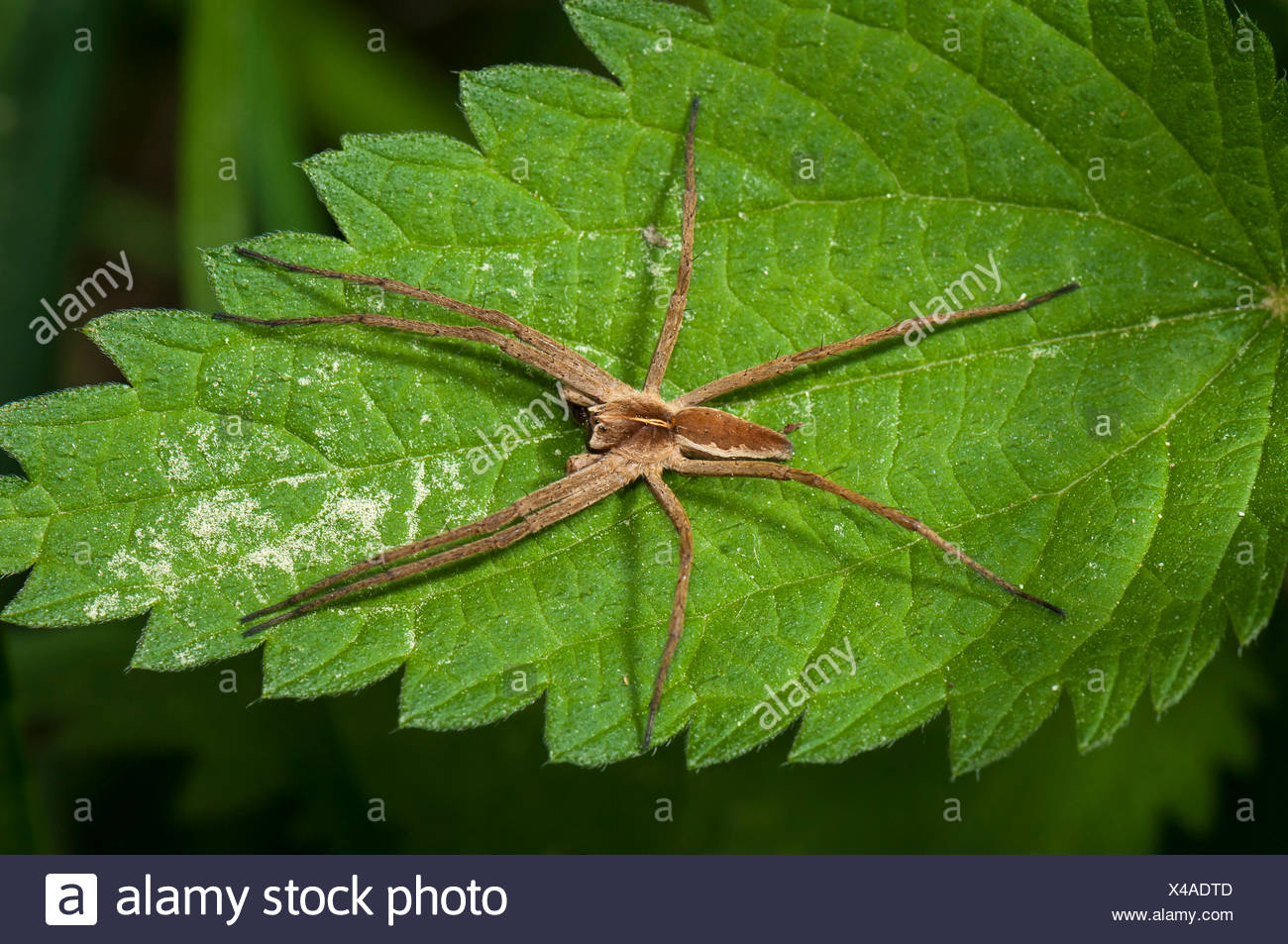Nursery web spider species (Pisaura mirabilis) on Stinging Nettle (Urtica dioica), Mönchbruch Nature Reserve, Mörfelden, Hesse - Stock Image