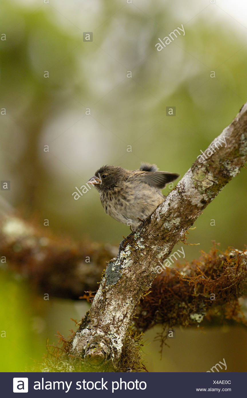 Medium ground finch, Highlands of Santa Cruz Island, Galapagos Islands, Ecuador, South America. - Stock Image