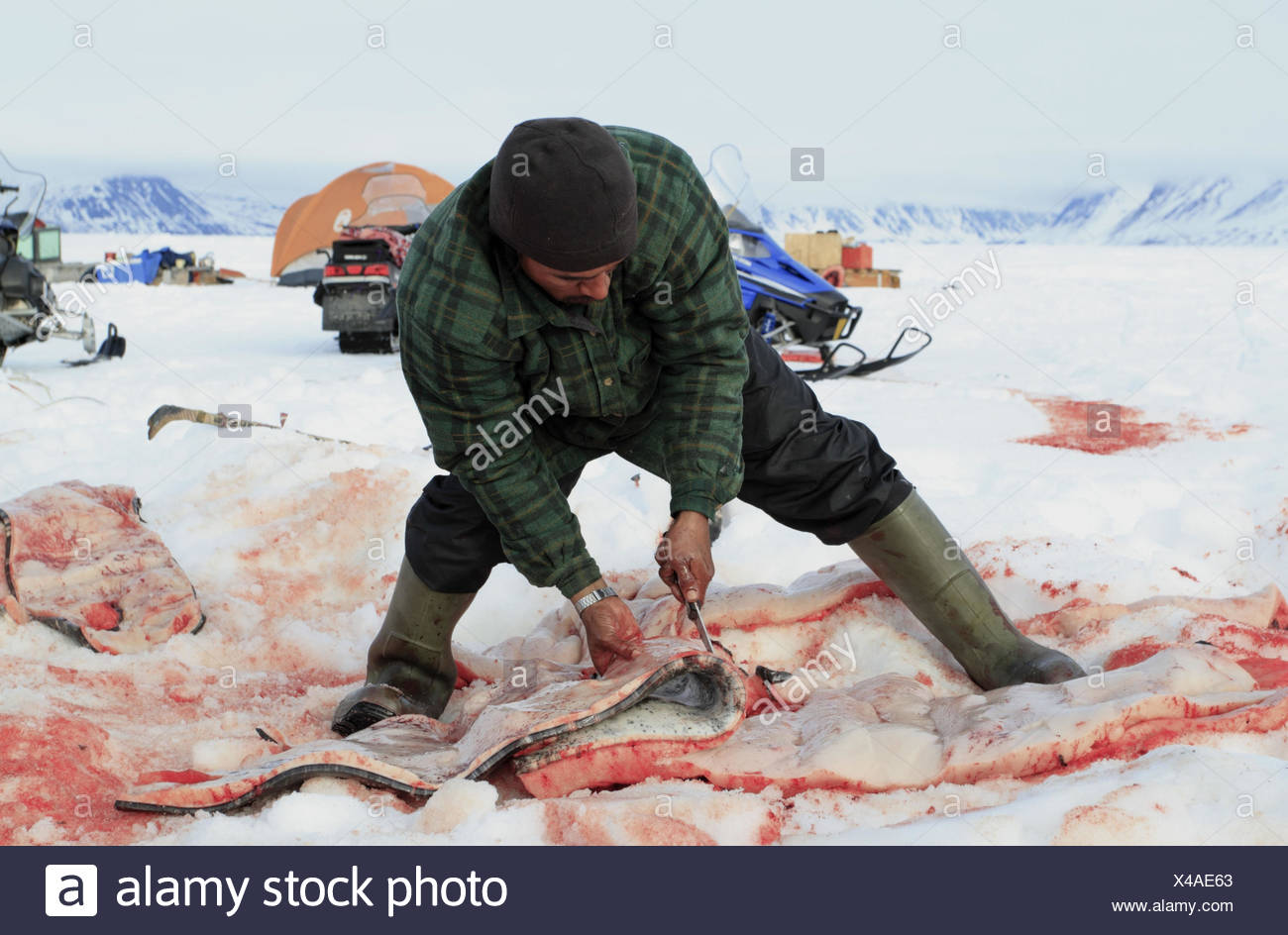 North America, Canada, Nordkanada, Nunavut, Baffin Iceland, Eclipse sound, Pond Inlet, Inuit, whale hunt, shot narwhal, - Stock Image