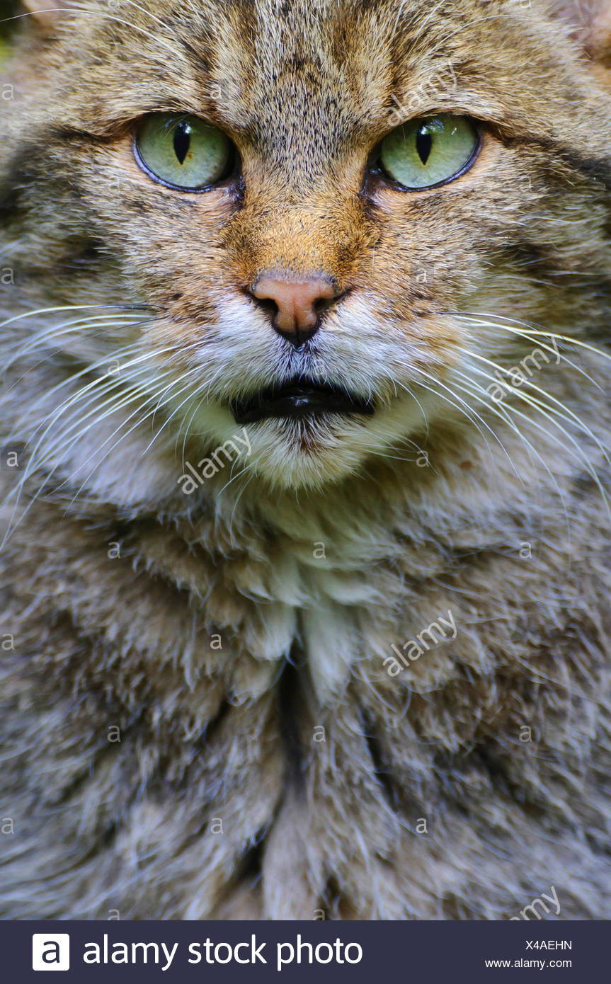 European wildcat, forest wildcat (Felis silvestris silvestris), portrait, Germany, Bavaria, Bavarian Forest National Park Stock Photo