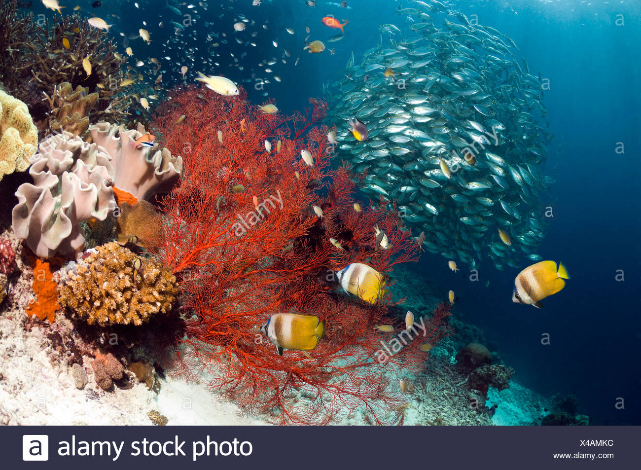Coral reef scenery with Klein's butterflyfish with gorgonian and a school of Bigeye scad, Misool, West Papua, Indonesia. - Stock Image