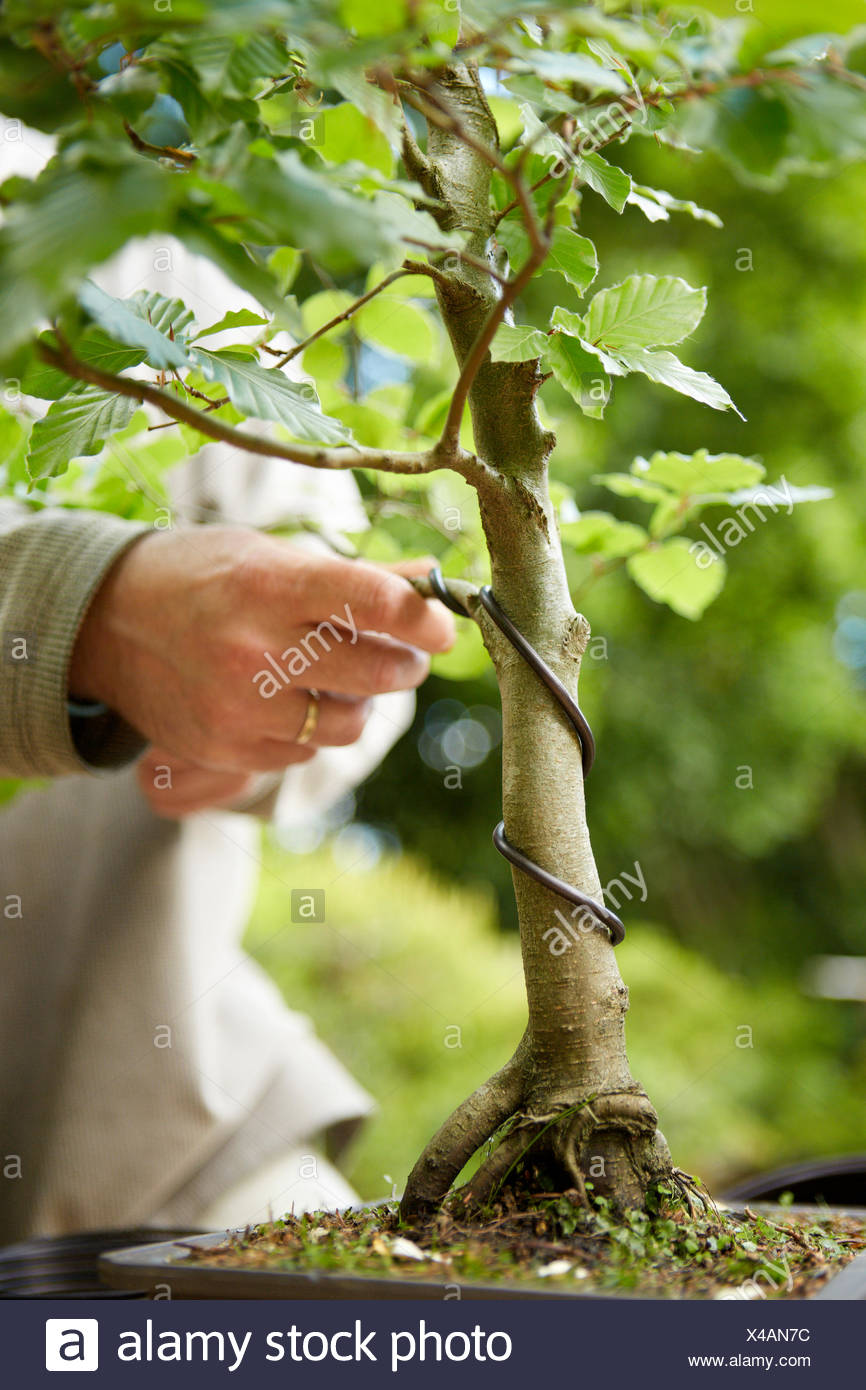 Strange Wiring Bonsai Tree Stock Photo 278060704 Alamy Wiring 101 Mecadwellnesstrialsorg
