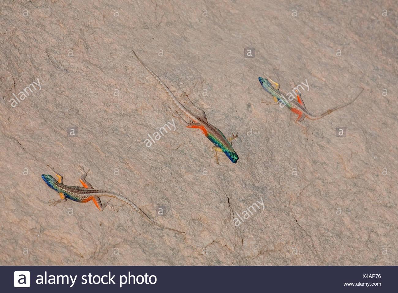 Broadley's Flat Lizard (Platysaurus broadleyi), three colourful males on a rock, South Africa, Northern Cape, Augrabies Falls-Nationalpark, Kakamas Stock Photo
