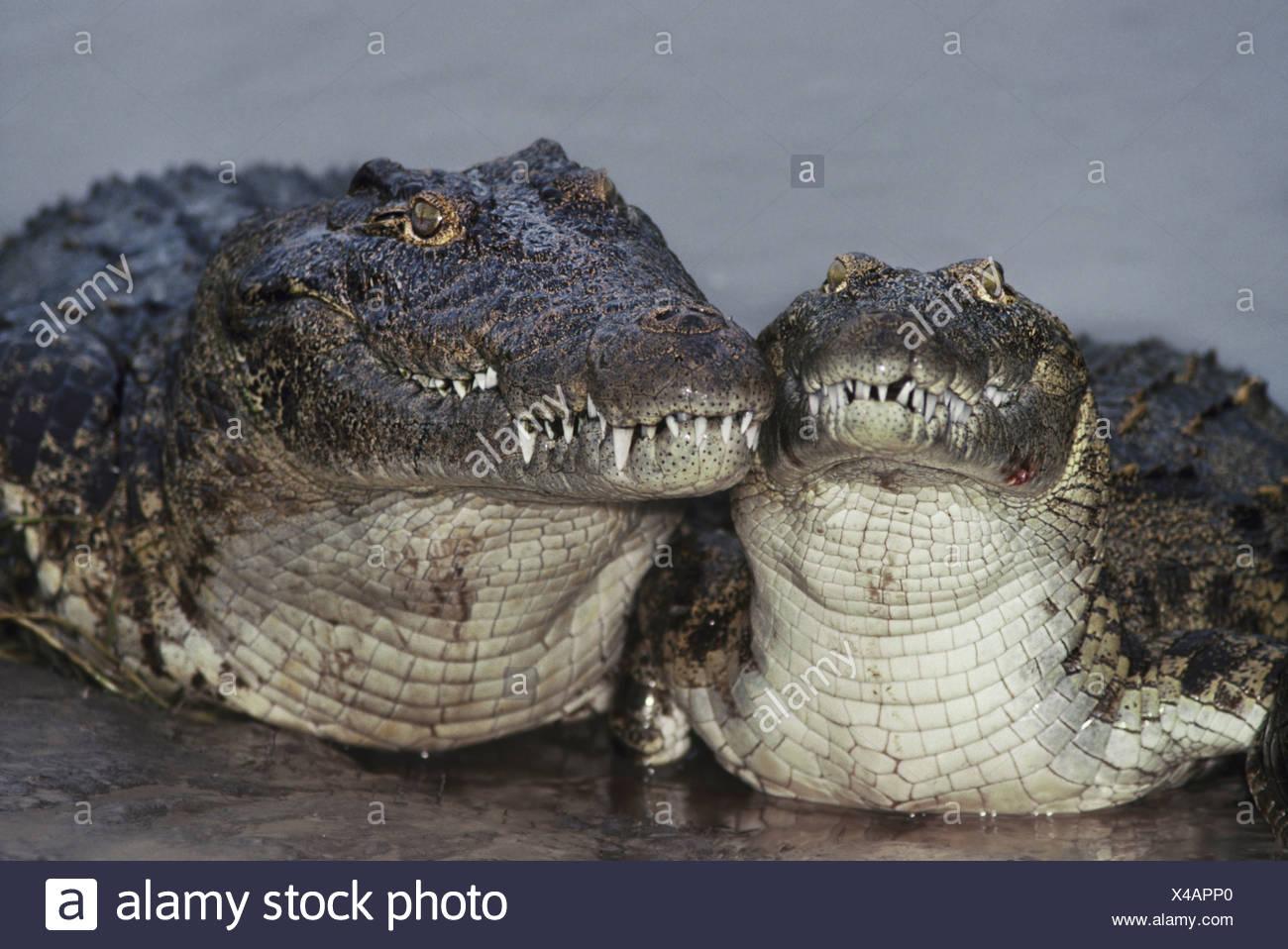 Nile crocodiles Crocodylus niloticus Botswana Chobe National Park Botswana Stock Photo