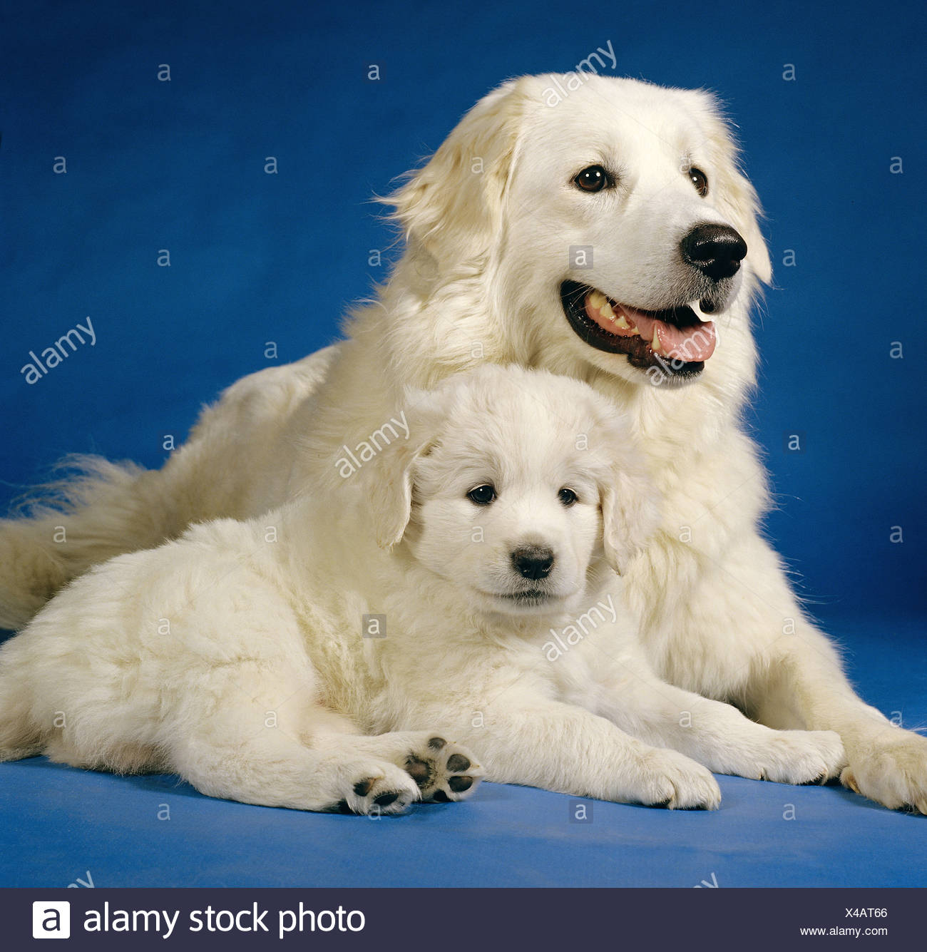 Kuvasz With Puppy Stock Photo 278063022 Alamy